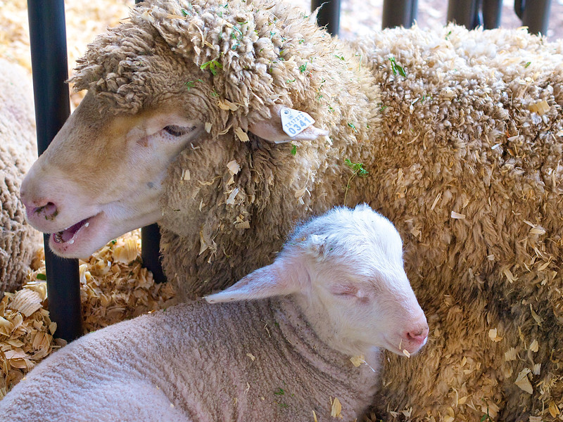Sheep and Lamb, Rodeo Austin - Austin, Texas