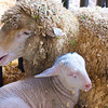 Sheep and Lamb, Rodeo Austin - Austin, Texas