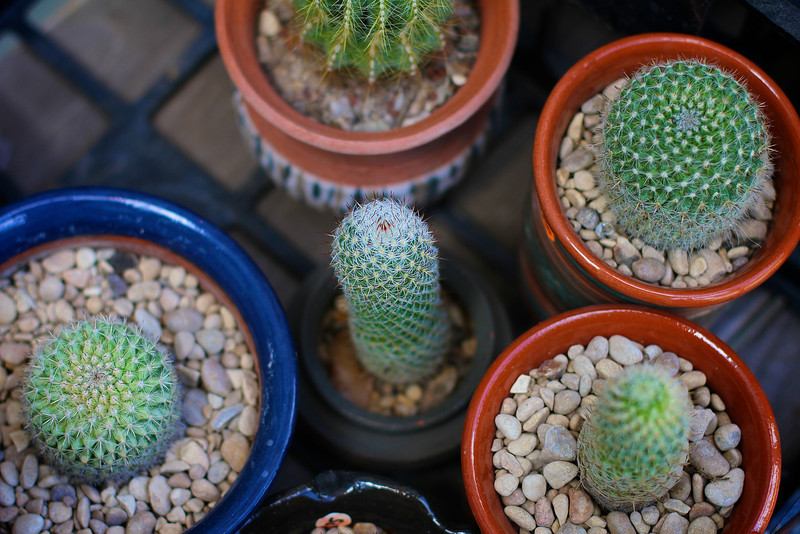 Potted Cactus - San Antonio, Texas