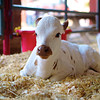 Cute Calf, Rodeo Austin - Austin, Texas