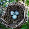 Cardinal Eggs - Austin, Texas