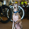 Colin, Italian Greyhound at Alien Scooters - Austin, Texas