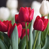 Tulips, Whole Foods Market - Austin, Texas