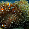 Clown Fish - Thailand<br /> <br /> The clown Anemonefish and the anemone have a symbiotic relationship. The clown fish is not harmed by the stinging tentacles of the anemone, and its bright orange color acts as a lure for passing fish. After the anemone paralyzes its prey, the clown fish gets to eat the leftovers. The clown fish helps keep the anemone clean and increases water circulation by its constant swimming action.