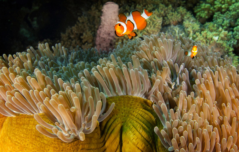 Close to Home, Komodo Island - Indonesia<br /> <br /> Colorful clown anemonefish pay close attention to my passage, and particularly to their reflection in the giant dome of glass that protects my camera lans.
