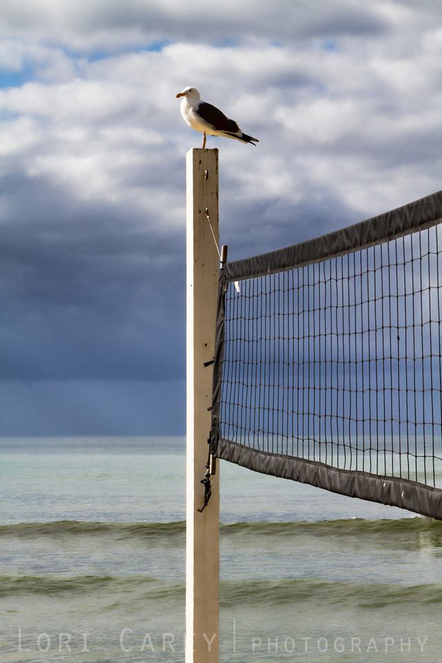 Seagull perched on a volleyball net at San Onofre State Beach, California