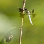 Common Whitetail (Plathemis lydia)