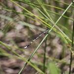 Seepage Dancer (Argia bipunctulata)