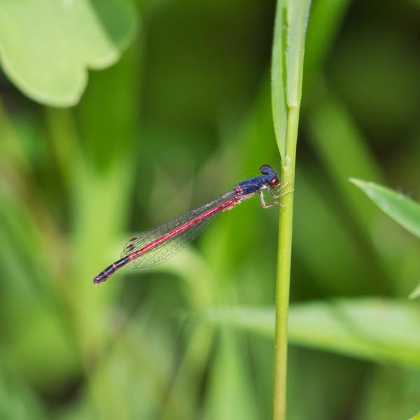 Eastern Red Damsel (Amphiagrion saucium)