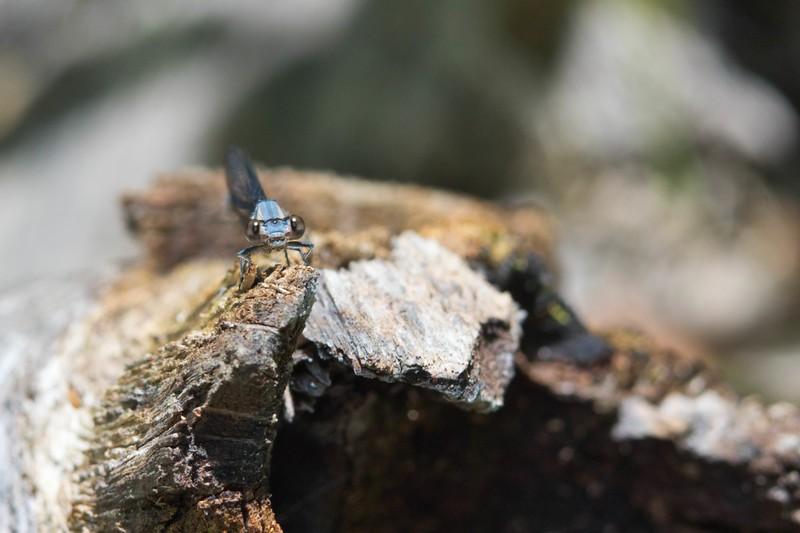 Blue Fronted Dancer (Argia apicalis)