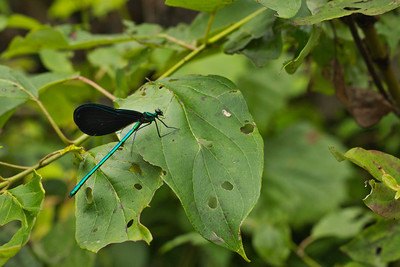 Male Ebony Jewelwing (Calopteryx maculata)