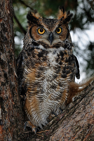 Back To The Wild - Great Horned Owl
