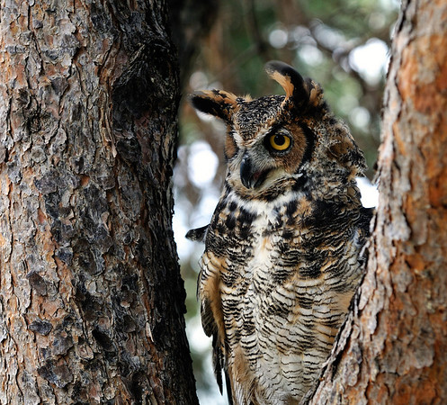 Great Horned Owl - Back To The Wild