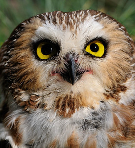 Back To The Wild - Short-Eared Owl