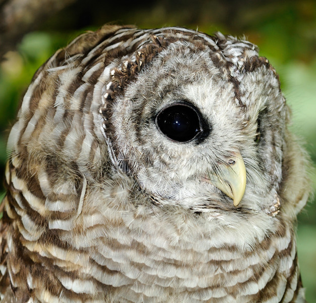 Back To The Wild - Barred Owl