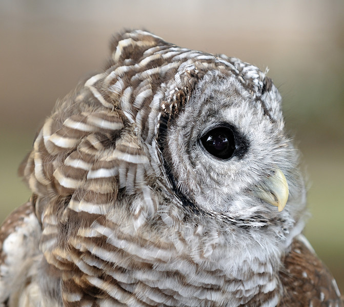 Barred Owl - Back To The Wild