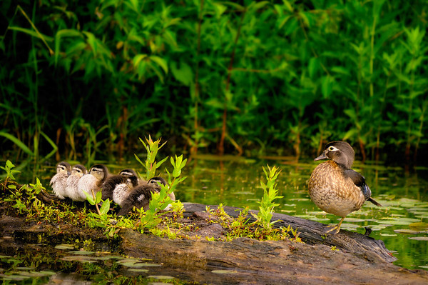The Duck Family - Beaver Marsh