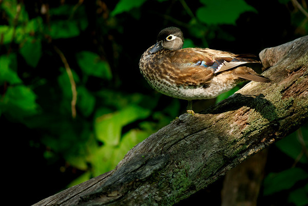 Duck - Cuyahoga Valley National Park