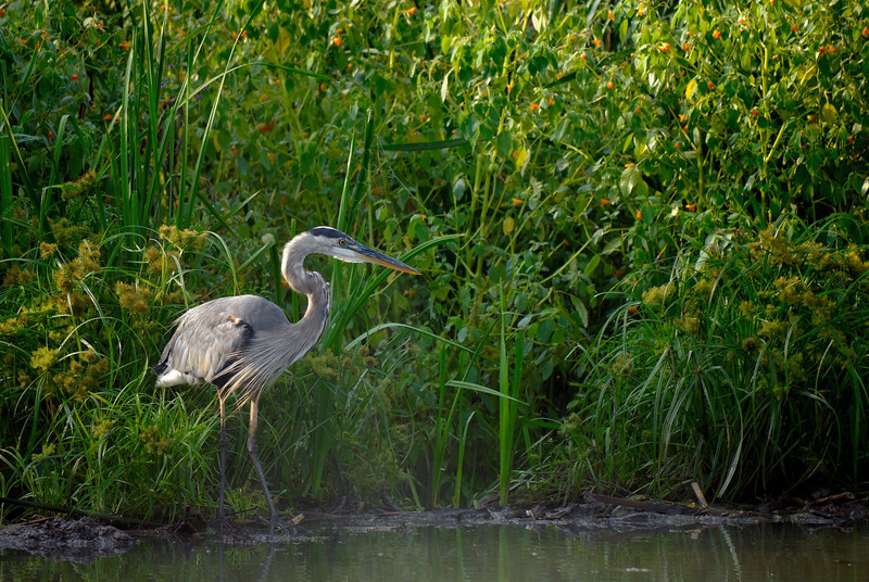 Blue Heron - Beaver Marsh - Cuyahoga Valley National Park