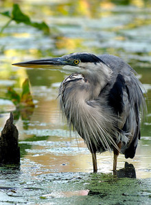 Blue Heron - Cuyahoga Valley National Park