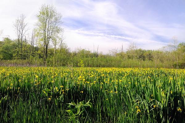Wild Iris Field - Cuyahoga Valley National Park