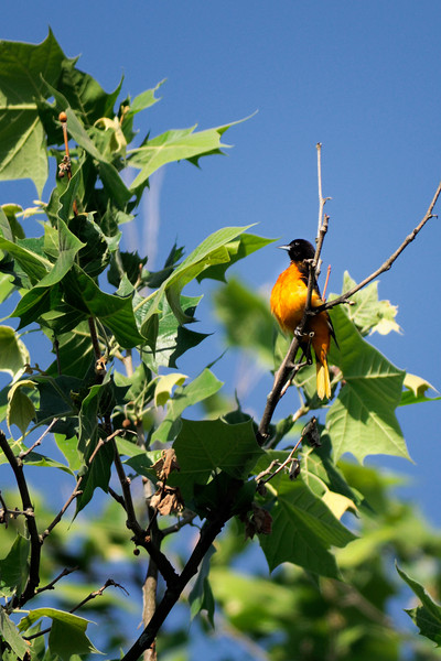 Baltimore Oriole at the Beaver Marsh - Cuyahoga Valley National Park