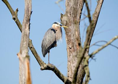 Blue Heron - Beaver Marsh - Cuyahoga Valley National Park