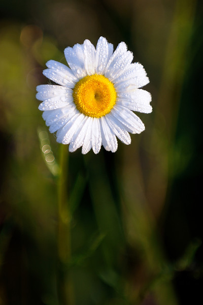 Daisy Field - Cuyahoga Valley National Park
