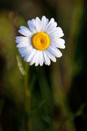 Daisy Field - Cuyahoga Valley National Park