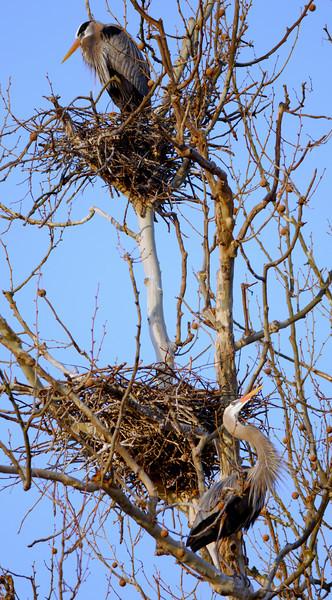 Heron Rookery - Indigo Lake