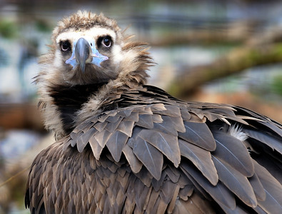 Vulture - Cleveland Zoo