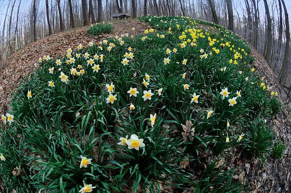 Daffodil Trail - Furnace Run - Cuyahoga Valley National Park