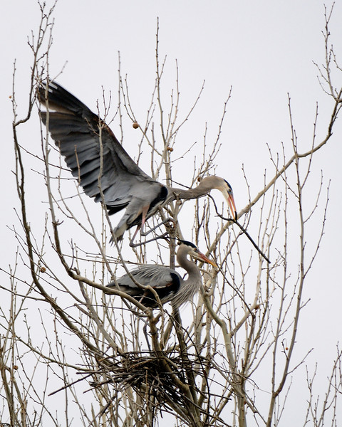 Heron Rookery - Cuyahoga Valley National Park