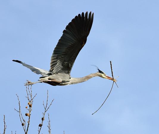 Heron Rookery 2013