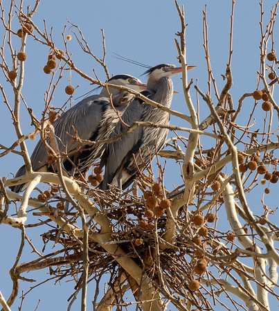 Blue Herons at the Heron Rookery on W. Bath Road