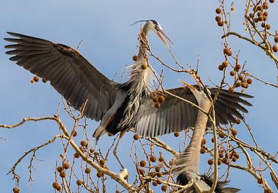 Fighting Herons