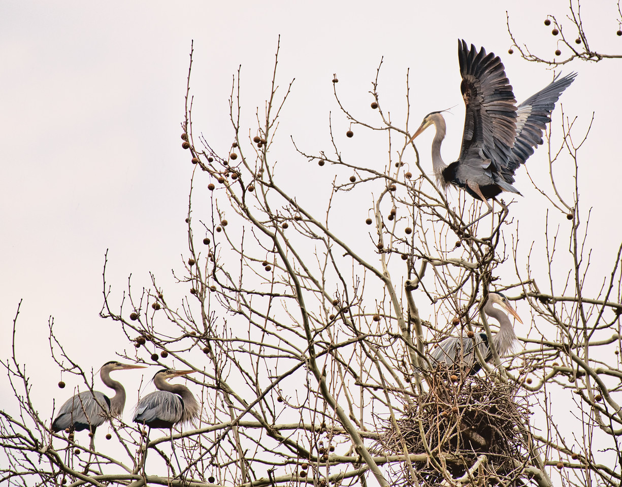 Heron Rookery on Bath Road