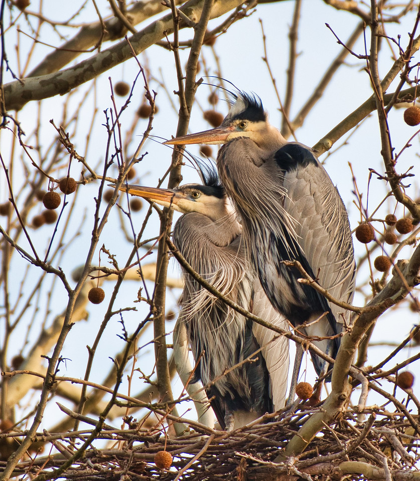Heron Rookery on Bath Road