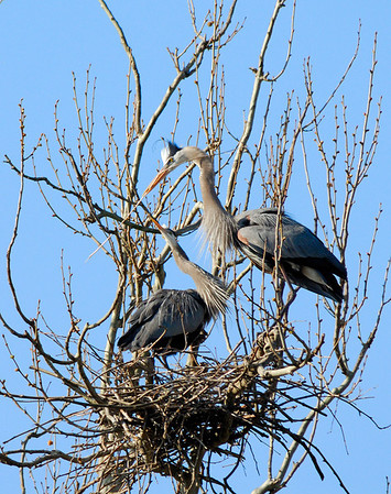 Heron Rookery - Building a Nest