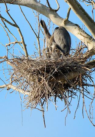 Heron Rookery - Baby Herons
