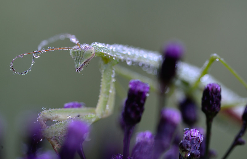 Dew Covered Preying Mantis