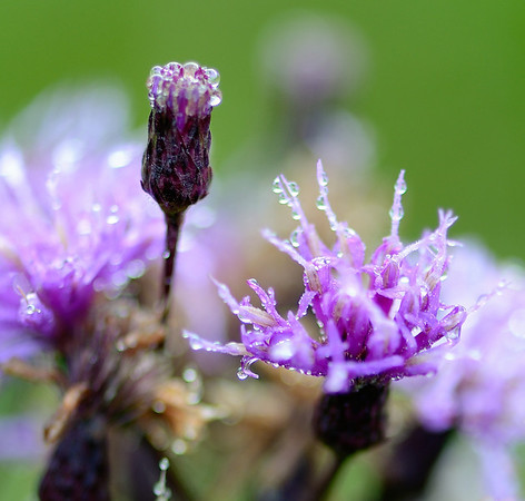 Ironweed Field - Cuyahoga Valley National Park