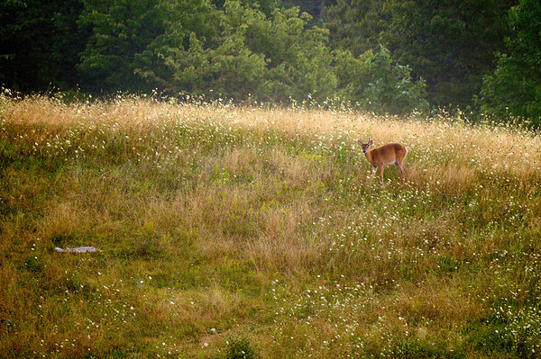 Deer at Kendall Hills - Cuyahoga Valley National Park