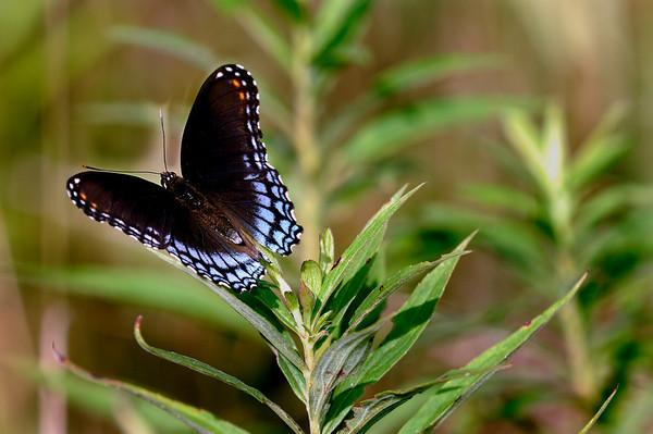 Butterfly - Terra Vista - Cuyahoga Valley National Park