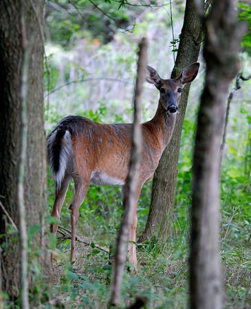 Deer - Terra Vista - Cuyahoga Valley National Park