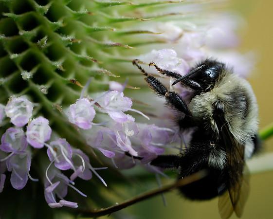 Bee - Terra Vista - Cuyahoga Valley National Park