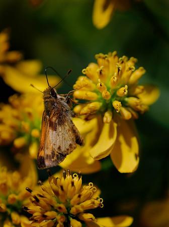 Moth - Terra Vista - Cuyahoga Valley National Park