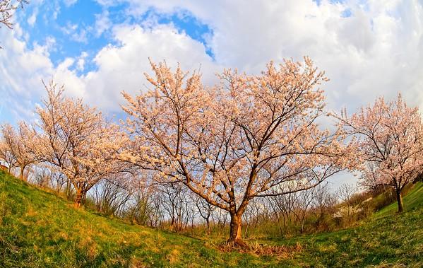 Cherry Blossoms 2021