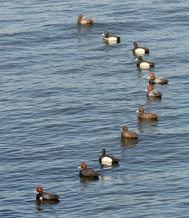 Ducks at Cleveland Lakefront Nature Preserve