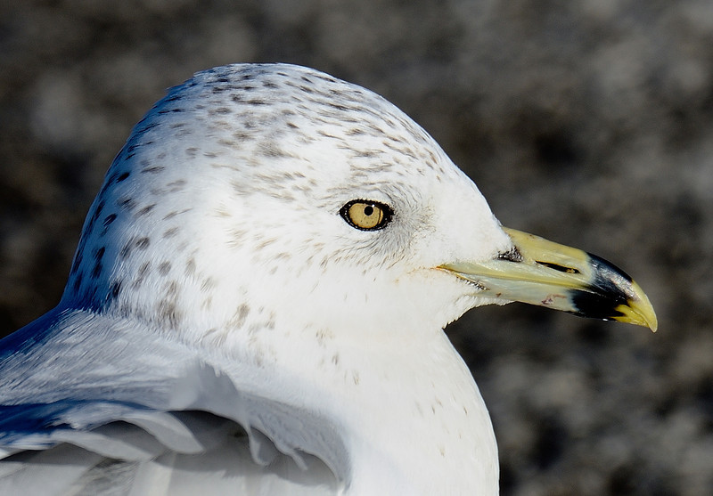 Ring-billed Gull  at Gordon Park